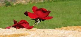 meli-melo-rose